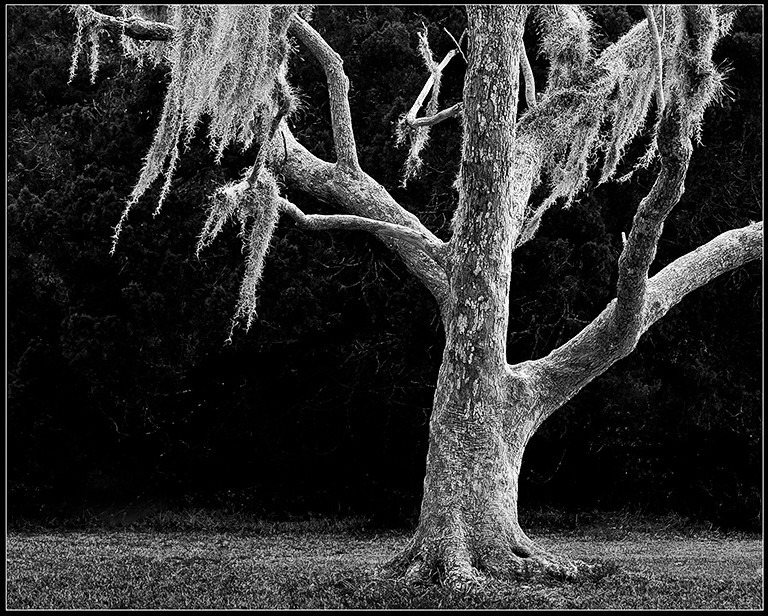 Washington_Oaks State_Gardens_tree_moss