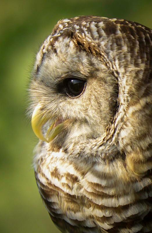 barred-owl-ohio-profile