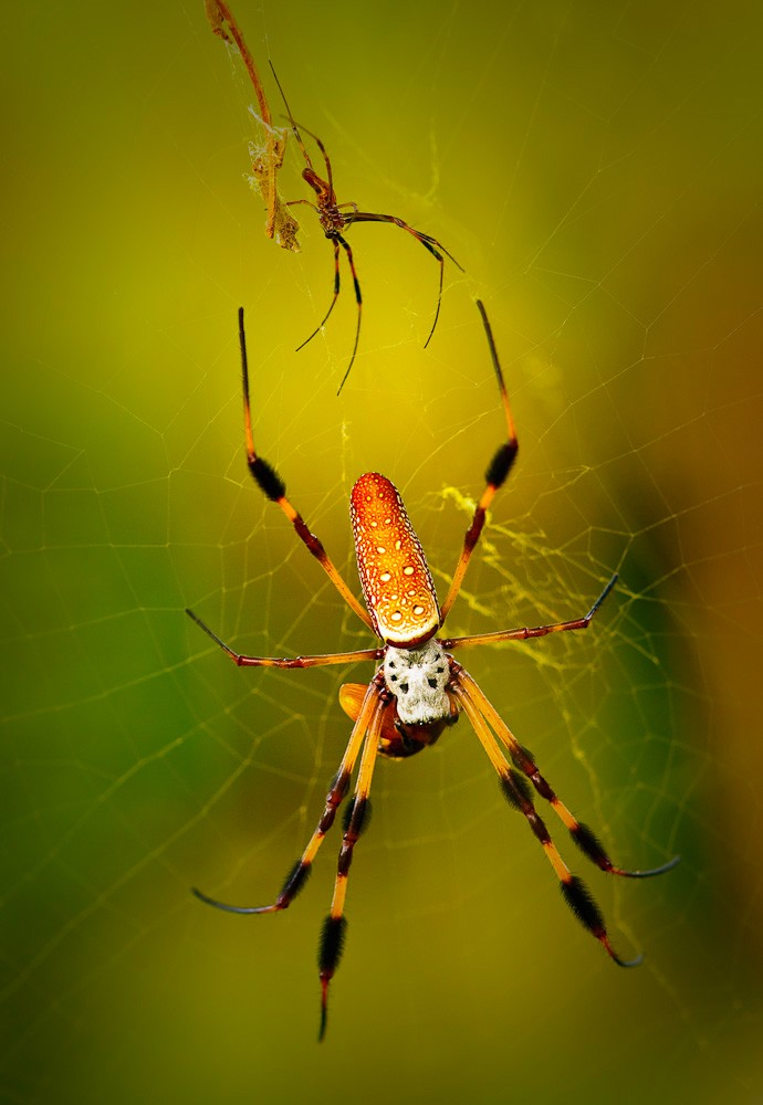 golden_orb_spider_hilton_head