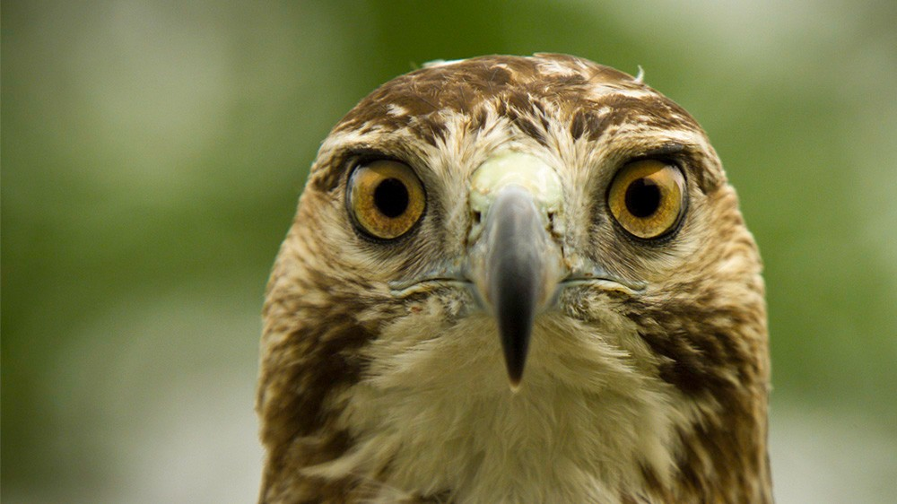 red-tailed-hawk-ohio-close-front
