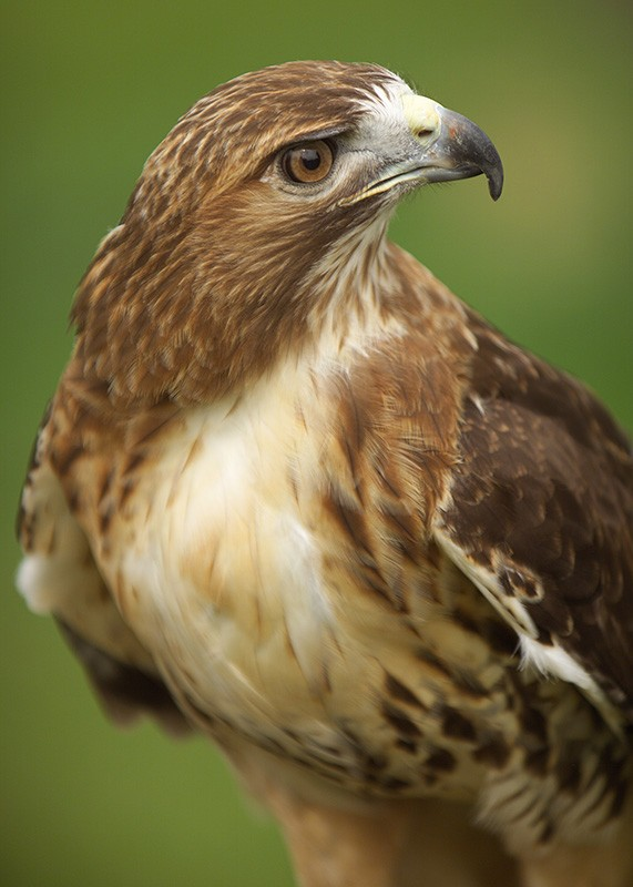 red-tailed-hawk-ohio-portrait