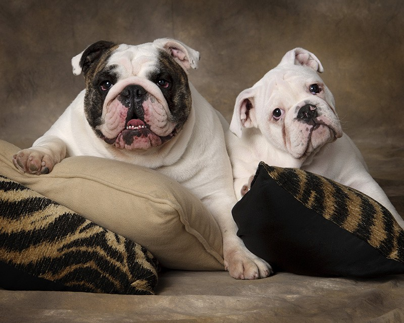 two_bulldogs_jelliscon_forpaws