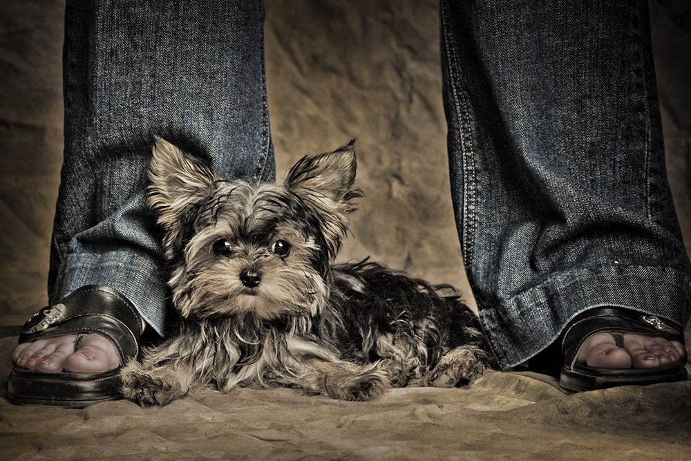 yorkshire_terrier_north_canton_viking